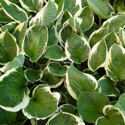 Hosta 'Independence' -