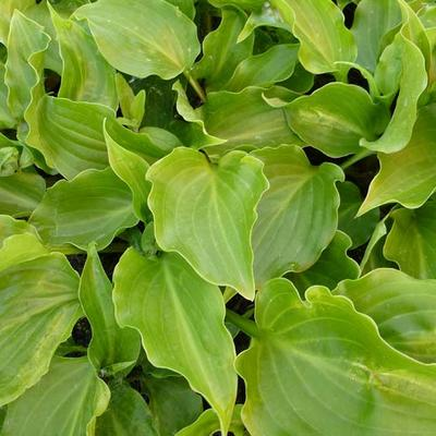 Hosta 'Invincible' - Hartlelie/Funkia - Hosta 'Invincible'