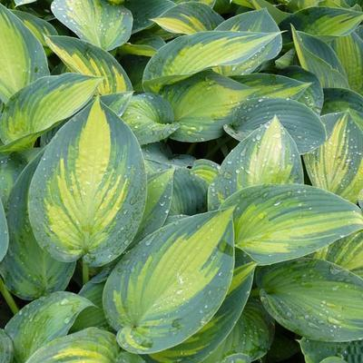Hosta 'June' - Hartlelie/Funkia - Hosta 'June'
