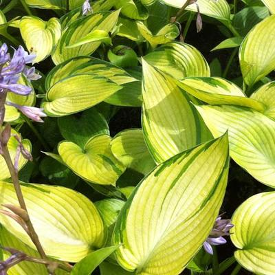 Hosta 'June Fever' -