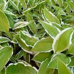 Hosta 'Krossa Cream Edge' - Hartlelie / funkia - Hosta 'Krossa Cream Edge'