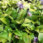 Hosta 'Little Black Scape' - Hartlelie / funkia - Hosta 'Little Black Scape'