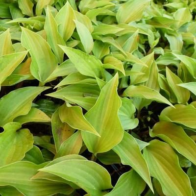 Hosta 'Little Red Rooster' -