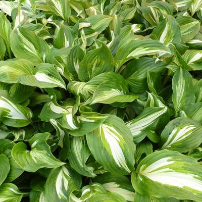 Hosta 'Middle Ridge' -