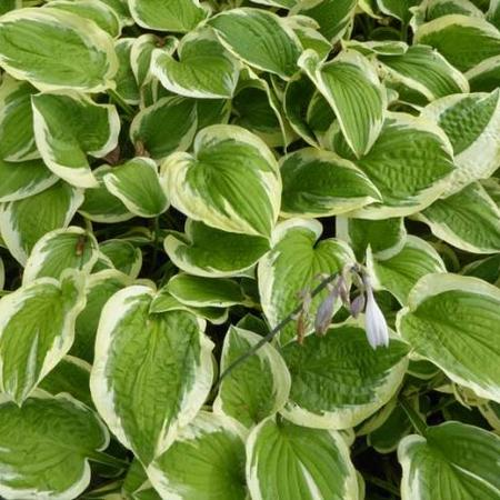 Hosta 'Mildred Seaver'
