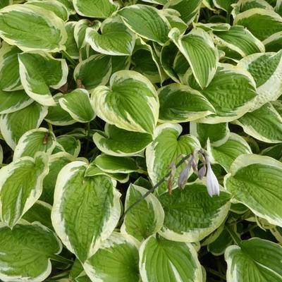 Hosta 'Mildred Seaver' -