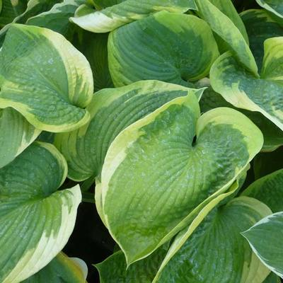 Hosta 'Olive Bailey Langdon' -
