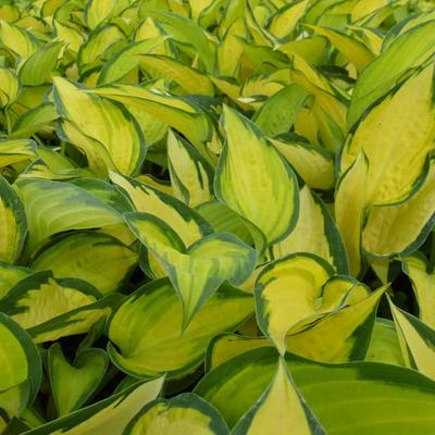 Hosta 'Orange Marmalade' - Hartlelie/Funkia - Hosta 'Orange Marmalade'