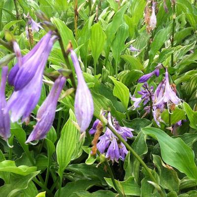 Hosta 'Outhouse Delight'  -