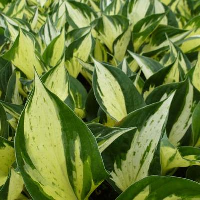 Hosta 'Pathfinder' -