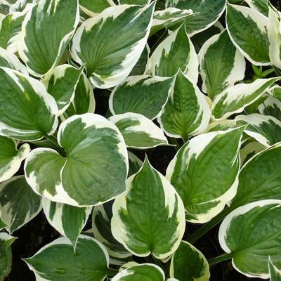 Hosta 'Patriot' - Hartlelie - Hosta 'Patriot'
