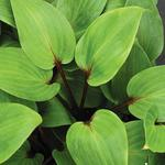 Hartlelie/Funkia - Hosta 'Purple Heart'
