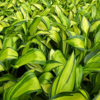 Hosta 'Rainbow's End' -