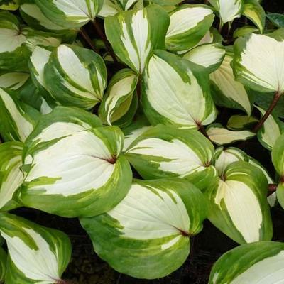 Hosta 'Raspberry Sundae' -