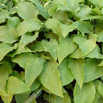 Hosta 'Red October' -