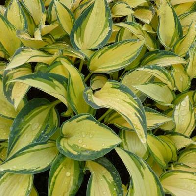 Hosta 'Remember Me' -