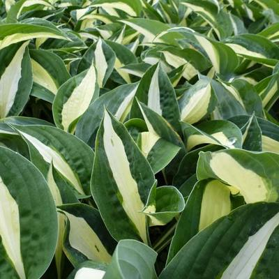 Hosta 'Risky Business'  -