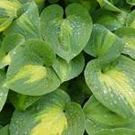 Hosta' St. Paul' - Hartlelie/Funkia