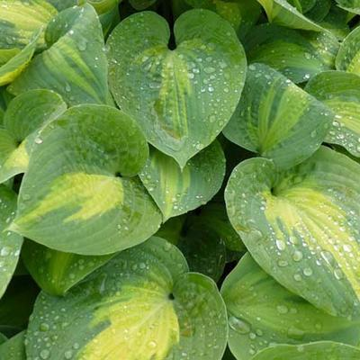 Hosta' St. Paul' -