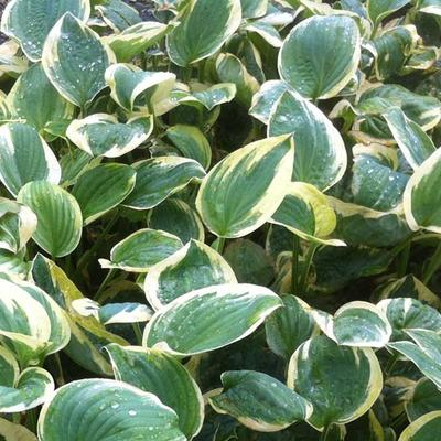 Hosta 'Shade Fanfare' -