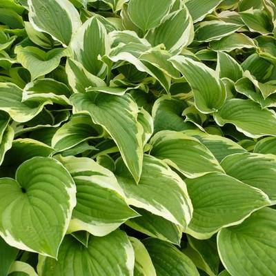 Hosta 'Silver Crown' -
