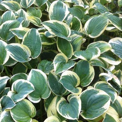 Hosta 'Snow Cap' -