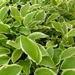 Hosta 'So Sweet' - Hartlelie/Funkia