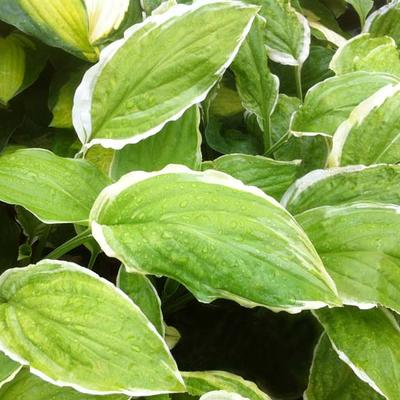Hosta 'Sugar and Cream' -
