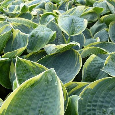 Hosta 'Sugar Daddy' -