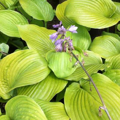 Hosta 'Sum and Substance' - Hartlelie/Funkia - Hosta 'Sum and Substance'