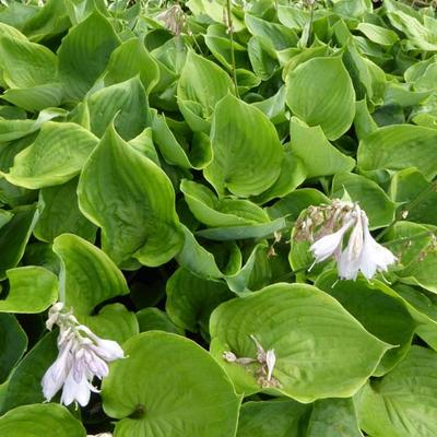 Hosta 'Sum of All' -