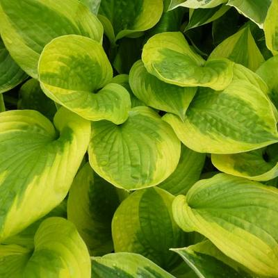 Hosta 'Summer Breeze' -