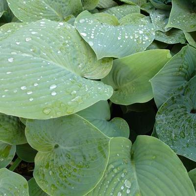 Hosta 'True Blue'  -