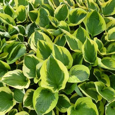 Hosta 'Twilight' - Hartlelie/Funkia - Hosta 'Twilight'