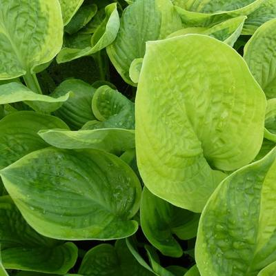 Hosta 'Unforgettable' -