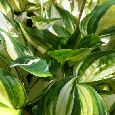 Hosta 'Warwick Delight' -