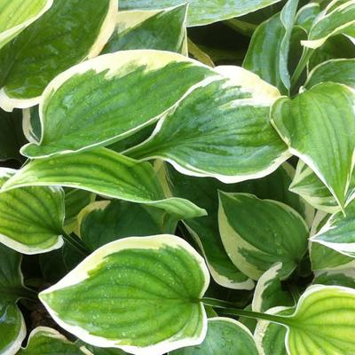 Hosta 'Warwick Edge' -