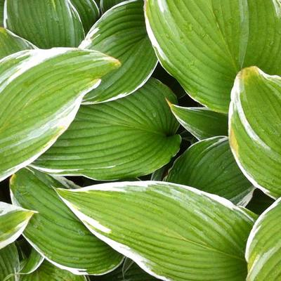 Hosta 'White On' -