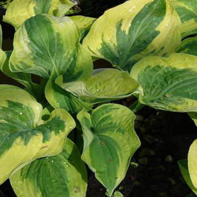 Hosta 'Wide Brim' - Hartlelie - Hosta 'Wide Brim'