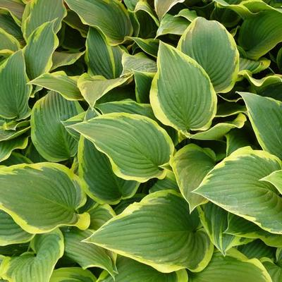 Hosta 'Yellow River' - Hartlelie/Funkia - Hosta 'Yellow River'