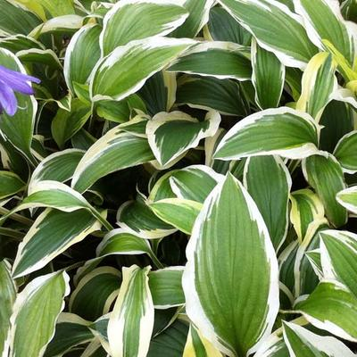 Hosta 'Yellow Splash Rim' -
