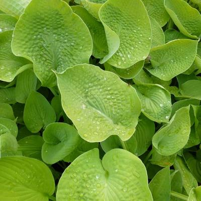 Hosta 'Zounds' -