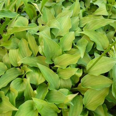 Hosta ventricosa 'Little Blue' -