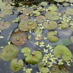 Hydrocharis morsus-ranae - Hydrocharis morsus-ranae - Kikkerbeet