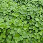 Hydrocotyle vulgaris - Gewone waternavel - Hydrocotyle vulgaris
