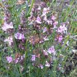 Hyssopus officinalis 'Roseus' - Hyssop - Hyssopus officinalis 'Roseus'