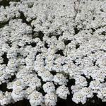 Iberis sempervirens 'Snowflake' - Scheefbloem - Iberis sempervirens 'Snowflake'