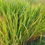 Imperata cylindrica - Japans bloedgras - Imperata cylindrica