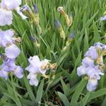 Iris germanica 'Babbeling Brook' - Baardiris, zwaardiris - Iris germanica 'Babbeling Brook'