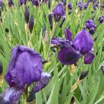Baardiris, zwaardiris - Iris germanica  'Black Knight'